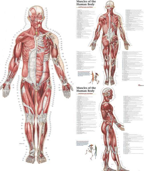 Trail Guide to the Body's Muscles of the Human Body - 3 Poster Set