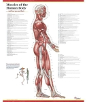 Trail Guide to the Body's Muscles of the Human Body Poster - Lateral View