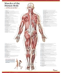 Trail Guide to the Body Muscles of the Human Body Poster - Posterior View