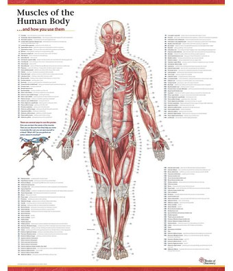 Trail Guide to the Body Muscles of the Human Body Poster - Anterior View